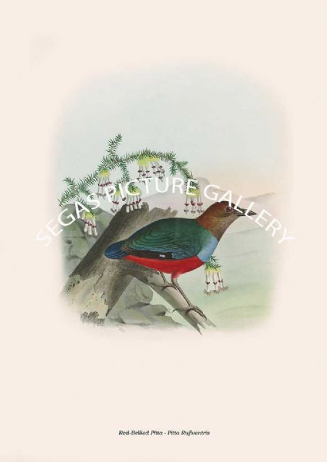 Fine art print of the Red-Breasted Pitta - Pitta Rufiventris by artist's Joseph Wolf and Joseph Smit (1893-95)